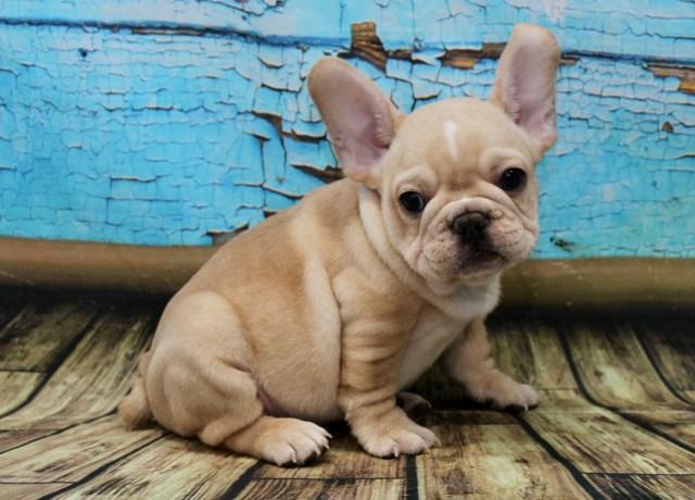 Bulldogs Of Long Island French Bulldog Breeder In Port