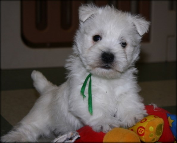 West Highland White Terrier Breeder 16768