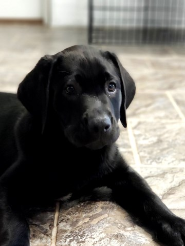 Labrador Retriever Breeder 27039
