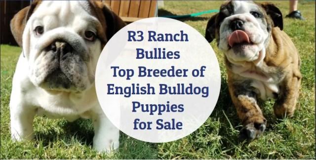 R3 Ranch Bullies, English Bulldog Breeder in McKinney, Texas