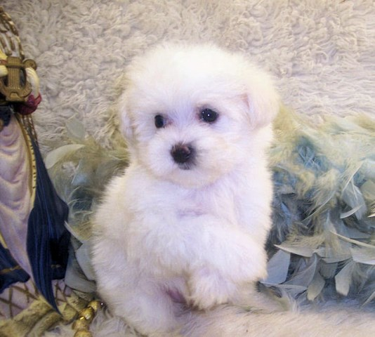 maltese puppies for sale in ms poodle mix puppies maltipoo breeder in jackson mississippi 6955