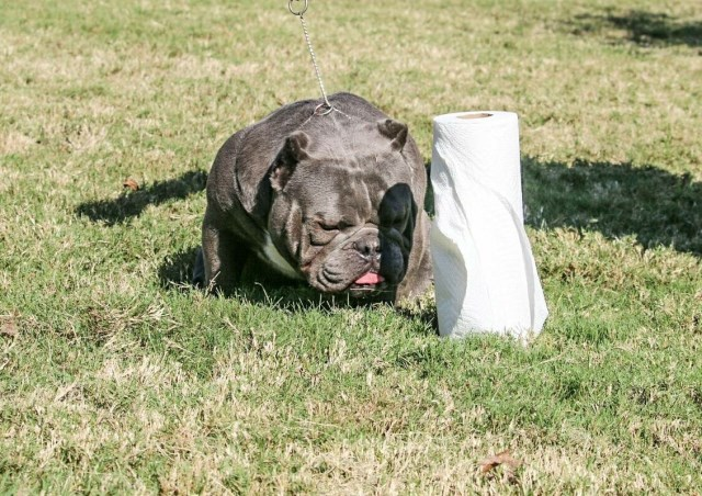 Exquisite Exotic Bullies American Pit Bull Terrier