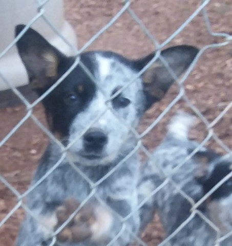 Australian Cattle Dog Puppies For Sale In Maine