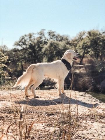 Tara Mann Golden Retriever Stud In Austin Texas