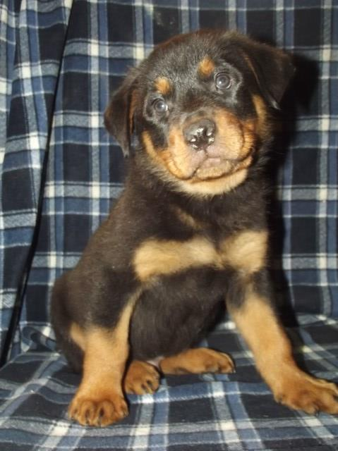 Eatop Farm Rottweiler Breeder In Moravia New York