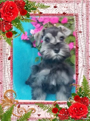 Indiana Schnauzer Puppies, Miniature Schnauzer Breeder in ...
