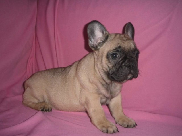 Ericka, French Bulldog Breeder in Staten Island, New York