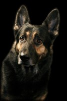 Rebecca Kuchera - German Shepherd Dog Breeder