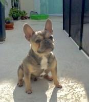 - Florida French Bulldog Rescue - ADOPTIONS - Rescue Me!