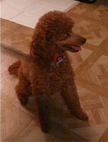 Dee V Poodle Toy Stud In Vancouver Ridgefield Washington