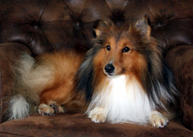 Nor~Lea Shelties