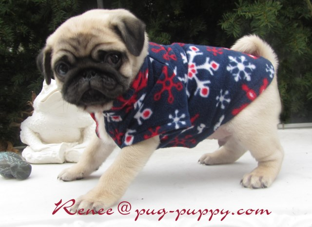 Pug Puppy Breeder Of Boston Ma Pug Breeder In Saugus Massachusetts