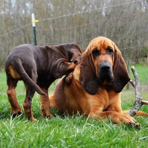 The Dam Lodge Bloodhounds, Bloodhound Breeder in Arkansas USA