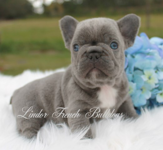 Lindor French Bulldogs