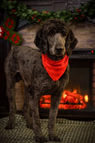 Thomas Downey, Poodle Standard Stud in Citronelle, Alabama