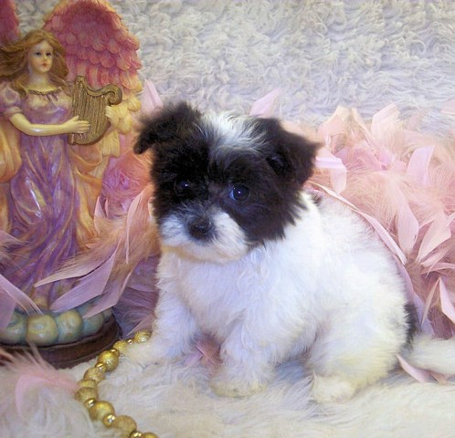 Poodle Mix Puppies Maltipoo Breeder In Jackson Mississippi