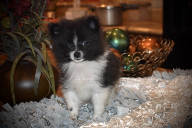 Pomeranian puppy for sale + 54052