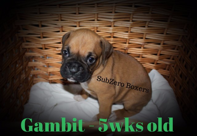 Boxer puppy for sale + 50314