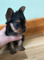 Tea cup Yorkie male puppy Yorkshire Terrier for sale/adoption