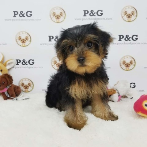 Yorkshire Terrier puppy for sale + 53654