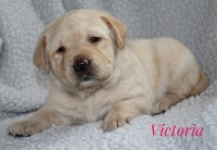 Adorable AKC Labrador Retrievers Labrador Retriever for sale/adoption