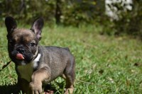 french bulldog puppies cincinnati search locally for french bulldog puppies and dogs nearest 9354