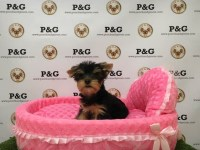 Yorkshire Terrier - Pasta - Female Yorkshire Terrier for sale/adoption