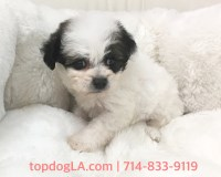 Maltese Dogs and Puppies for Adoption
