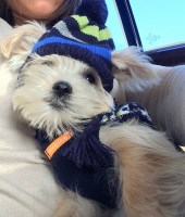 Donny 9 months old, potty trained, 6 pounds fully grown Morkie for sale/adoption