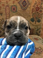 American Bully Puppy American Pit Bull Terrier for sale/adoption