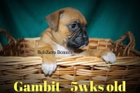 AKC Fawn Male Boxer pup Boxer for sale/adoption