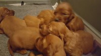 Irish Setter Dogs and Puppies for Adoption