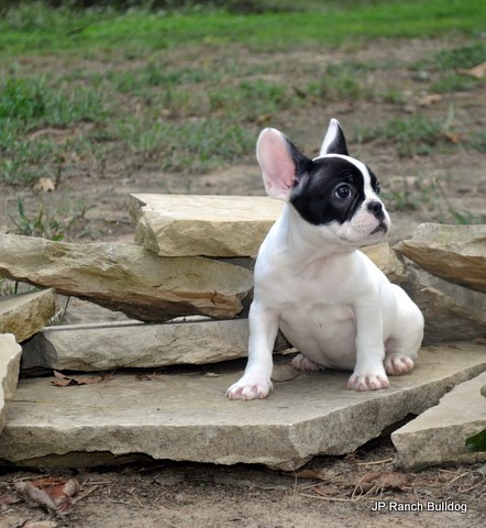 French Bulldog puppy for sale + 58697