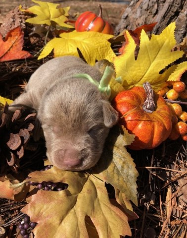 Labrador Retriever puppy for sale + 51438