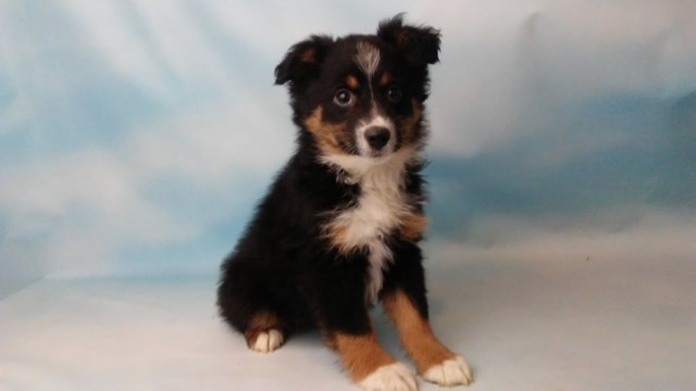 Miniature Australian Shepherd Puppy Dog For Sale In East Sparta Ohio