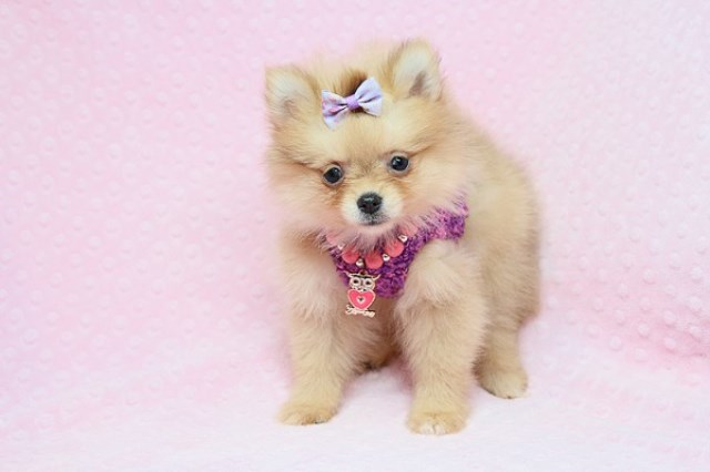 Pomeranian puppy for sale + 56526