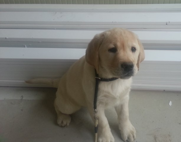 English Labrador Retriever Puppies Trained parents OFA hips, elbows, PRA, EIC tested
