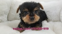 Yorkshire Terrier Dogs and Puppies for Adoption