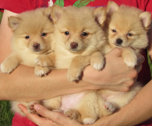 Pomeranian puppy for sale + 54243