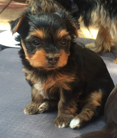 Beautiful AKC Yorkie
