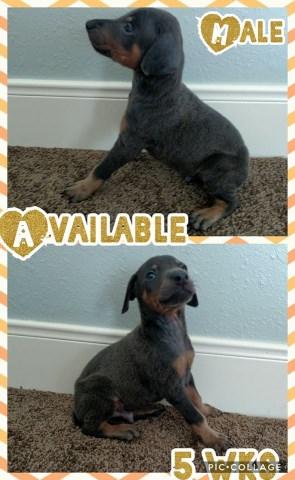 Doberman Pinscher puppy dog for sale in Cleveland, Texas