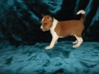 Basenji Dogs and Puppies for Adoption