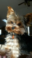 Yorkie Puppies for sale Yorkshire Terrier for sale/adoption