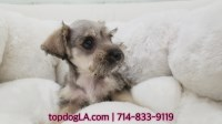 Miniature Schnauzer Dogs and Puppies for Adoption
