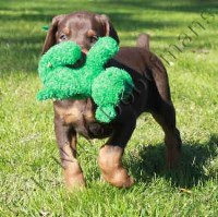 Red male doberman puppy for sale with the green ribbon Doberman Pinscher for sale/adoption