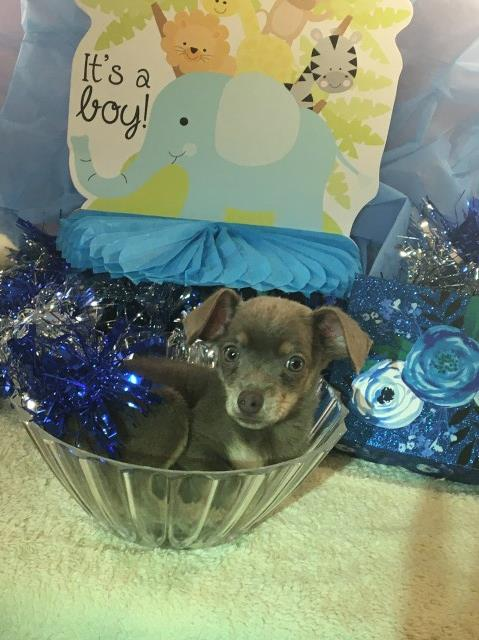 Chihuahua puppy for sale + 61061