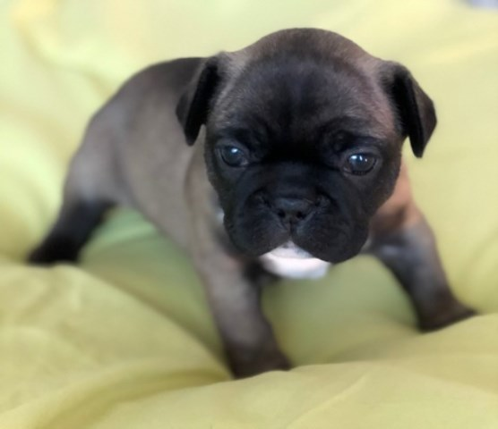 Blue sable french bulldog puppy