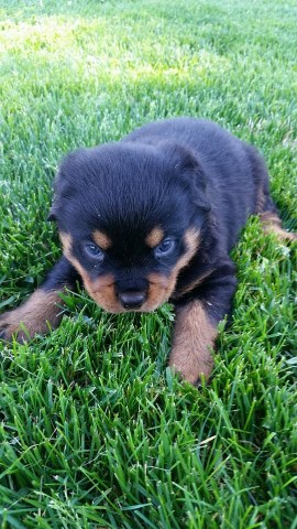 Rottweiler Puppy Dog For Sale In Loogootee Indiana
