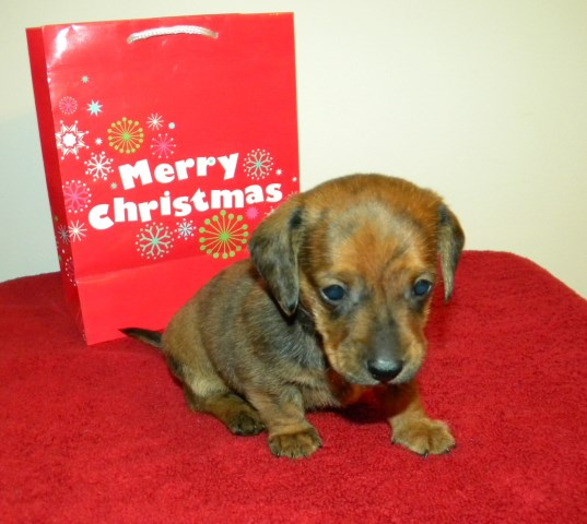 Dachshund Puppy Dog For Sale In Dunn North Carolina