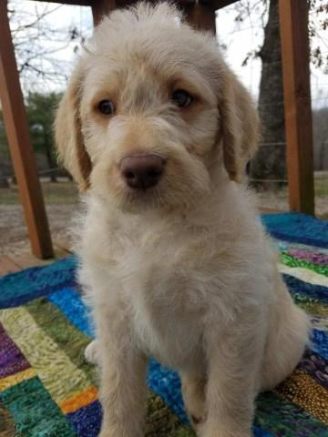 Labradoodle Puppy Dog For Sale In Alton Missouri